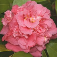 Camellia japonica Marchioness of Exeter