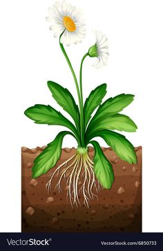 White daisy planting under the ground Royalty Free Vector