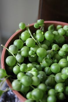 String of Pearls | A pretty - elegant creeping succulent that sometimes flowers and sometimes doesn't. Just be sure to pot in a hanging basket so the pearls can trail down.