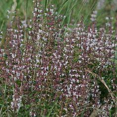 Syncolostemon pretoriae Container Plants, Shrubs, Perennials, Wild Flowers, Grass, Leaves, Perennial, Grasses, Herb