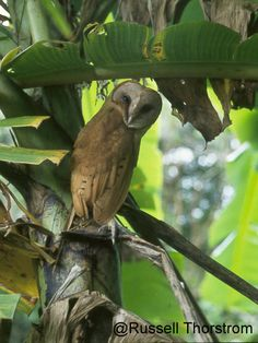 Madagascar Red Owl.  Similar to a smallish Barn Owl, with an overall ochre-reddish to yellow-ochre colour.