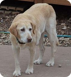 01/09/16--Temple, GA - Labrador Retriever Mix. Meet Brandi (DEAF), a dog for adoption. http://www.adoptapet.com/pet/13085863-temple-georgia-labrador-retriever-mix