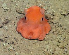 メンダコ。米カリフォルニア州モントレー湾の水深330メートルの海底で(2015年6月17日提供)。(c)AFP/HANDOUT/MONTEREY BAY AQUARIUM RESEARCH INSTITUTE ▼18Jun2015AFP|パックマンのモンスター似?メンダコに「愛らしい」学名を http://www.afpbb.com/articles/-/3052025