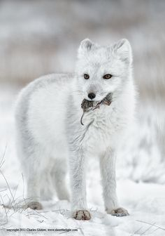 Arctic Fox and his friend, the mouse