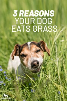 Chances are your dog's eaten a salad's worth of grass at some point in his life?  And you've probably noticed it comes out pretty much the same way it went in …  So if they can't digest it … why do they eat it? Is there an underlying health issue that you should worry about?  Here are the 3 main reasons your dog may eat grass.