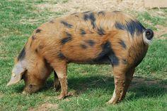 berkshire pigs   Le Logis