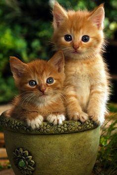 All About Ginger Cats - Kittens Cutest - Katzen Bilder Kittens And Puppies, Cute Cats And Kittens, Kittens Cutest, Ragdoll Kittens, Tabby Cats, Bengal Cats, Teacup Persian Kittens, Teacup Kitten, Pretty Cats