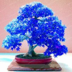 Cheap planting bonsai tree, Buy Quality tree tool directly from China plant label Suppliers: Loss Promotion! 20 Pcs/Bag Real Japanese Ghost Blue Maple Seeds Rare Balcony Bonsai Tree plants for home garden Bonsai Maple Tree, Ficus Bonsai, Japanese Maple Bonsai, Maple Tree Seeds, Indoor Bonsai, Bonsai Garden, Bonsai Trees, Balcony Plants, House Plants