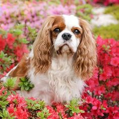 Hi!  Nice to meet you! my name is Milo. i'm 6 yrs old cavalier king charles spaniel from Poland. I will share with you the funny and sad moments of my life.  I hope you will like me  ...:-)