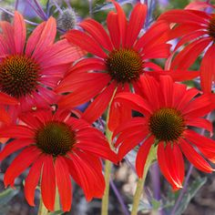 Buy Echinacea Tomato Soup Perennial Plants Online. Garden Crossings Online Garden Center offers a large selection of Coneflower Echinacea Plants. Shop our Online Perennial catalog today!