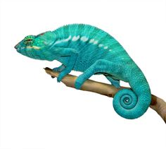Panther Chameleon - Furcifer Pardalis - Nosy Be Locale - Male Our sire Azul Jr. here at Canvas Chameleons