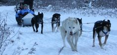 ALERT 86 SLED DOGS DUMPED AT SHELTER- Canada. They need desperate help!  For more info:                 https://www.facebook.com/whistlersleddogco