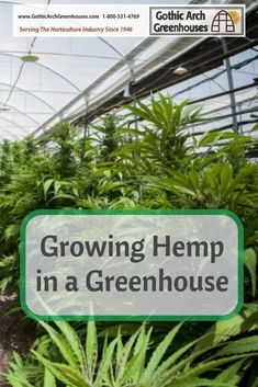 As of growing hemp as an agricultural product is now legal in the United States. Hemp is known for having wonderful health benefits, applications in Growing Weed, Cannabis Cultivation, Cannabis Plant, Greenhouse Growing, Greenhouse Plans, Sustainable Farming, Sustainable Energy, Polycarbonate Greenhouse, Hemp