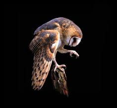 Barn Owl By OSU Special Collections & Archives: Commons