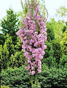 Søylejapankirsebær - Prunus serrulata 'Amanogawa'.