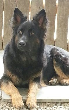 Shiloh Shepherd.....beautiful | will have one some day