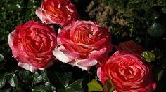 Tipps zum Rosen züchten