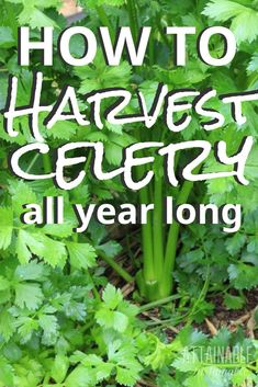 garden drawing Celery is a fabulous crop for urban gardeners. When you grow celery, you can harvest celery stalks from one plant for months -- or years -- at a time. Heres how to grow and harvest celery in your vegetable garden! Planting Vegetables, Organic Vegetables, Growing Vegetables, Vegetable Gardening, Flower Gardening, Fairy Gardening, Veg Garden, Gardening Books, Greenhouse Gardening