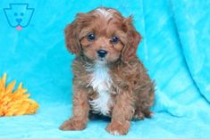This Cavapoo puppy has a beautiful personality and adorable face! He is vet checked, vaccinated, wormed and comes with a 1 year genetic health guarantee. Baby Puppies For Sale, Cavapoo Puppies For Sale, Cavachon Puppies, Dogs And Puppies, Support Dog, Thing 1, Adorable Animals, Dog Life, Cute Babies