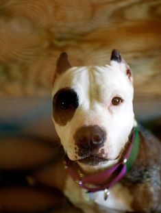 Naja is a young pit bull at the Villalobos Rescue Center. AP