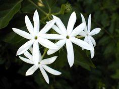 Fiori Bianchi Fight List.23 Best Jasmine Images Jasmine Jasmine Essential Oil Jasmine Oil