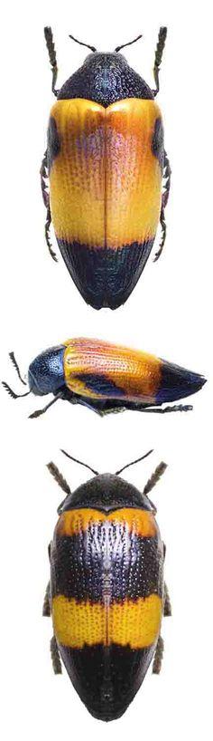 Sternocera hunteri; Sternocera hunteri fasciata