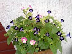 Victorias en florecimiento....sencillas y hermosas