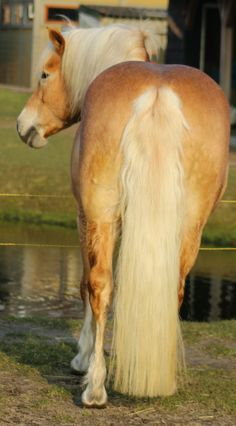 Beautiful haflinger tail Palomino, Haflinger Horse, Snow Photography, Mane N Tail, Horse Ranch, Horse World, Horse Breeds, Horse Love, Pretty And Cute
