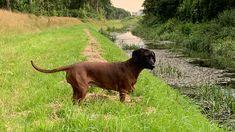 Bayrischer Gebirgsschweisshund Dogs, Animals, Mountain Range, Pet Dogs, Animales, Animaux, Doggies, Animal, Animais