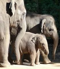 Image result for baby elephant asian