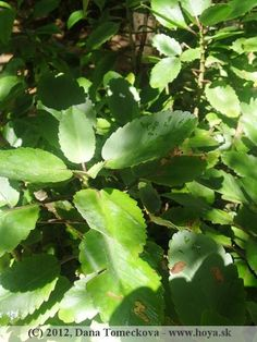 herbs Plant Leaves, Herbs, Fruit, Plants, Herb, Plant, Planets, Medicinal Plants