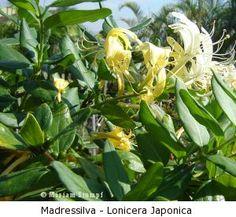 Trepadeira madressilva flores