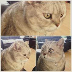 Prince Murphy looking inquisitive  #acatlikecuriosity #cat #cats #catsofinstagram #catstagram #cute #britishshorthair
