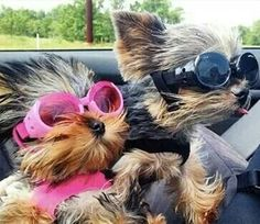 Yorkies blowing in the wind