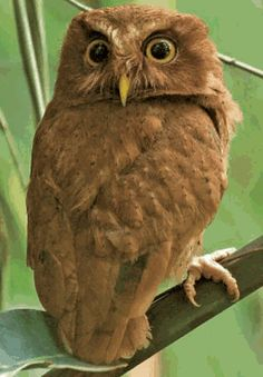 Serendib Scops Owl Otus thilohoffmanni - Google Search