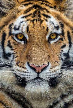 ☀Bengal Tiger way up close by alan shapiro photography*