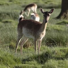 Dama dama - Fallow Deer Doe (female). Location: Petworth Park, West Sussex, UK
