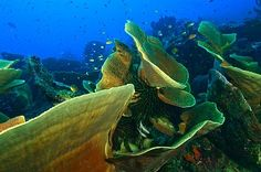 Large Lettuce Coral Formations, Milne Bay, Papua New Guinea