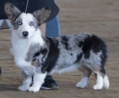 a beautiful blue merle corgi.