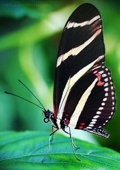 Zebra Longwing Butterfly ~ By on deviantART Flying Flowers, Butterflies Flying, Butterfly Kisses, Butterfly Flowers, White Butterfly, Beautiful Bugs, Beautiful Butterflies, Moth Caterpillar, Butterfly Pictures