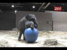 Beco the baby Asian elephant playing  Columbus Zoo