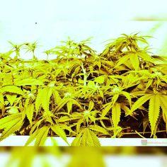 Mixed scrog grow of Hells Angel OG and White OG from Karma Genetics  TAP LINK IN BIO @howtogrowweed420  #weed #marijuana #cannabis #medicalmarijuana #mmj #ogkush #og #loud #dank #hydroponics #aeroponics #howtogrowweed #growingweed #420dotcom #howtogrow #howtogrowweedindoors #karmagenetics  #awardwinningcircle #karma_squad_strong  #cinderella99 #brothersgrimmseeds by howtogrowweed420