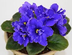 African Violet Noid Plant with Blue Flowers
