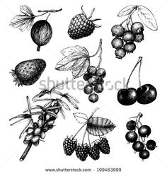 Vector set of ink  hand drawn vintage wild and garden berries. Vintage fruit and berry illustration isolated on white. - stock vector