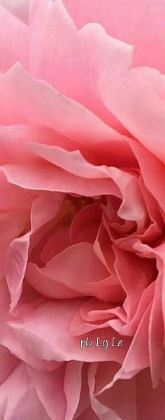 Love And Light, Peace And Love, Strawberry Roses, Light Pink Rose, Flower Boutique, You're Awesome, Color Of The Year, Pantone Color, Geraniums