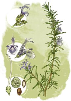 Rosemary Tattoo, Plant Drawing, Gravure, Tatoos, Tattoo Designs, World, Drawings, Artwork, Poster