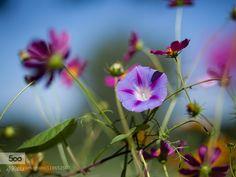 Bellflower by erlend