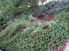 Image result for manzanitas in the garden