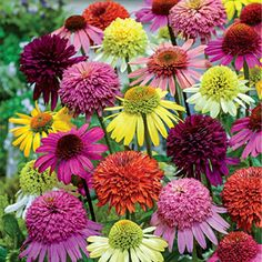 Light: Full Sun Bloom Time: Summer to Early Fall Zones: 3 to 9 Height: 90-120 cm
