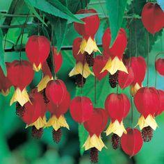Plantas e Flores: Abutilon - Lanterna chinesa